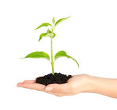 Human hands hold and preserve a young plant. Human hand hold and preserve a young plant on white background Stock Images