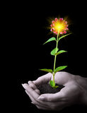 Human hands hold a young plant. With flower and sun on black Stock Images