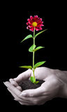 Human hands hold a young plant. With flower on black Stock Image