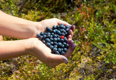Human hands holding a handful of blueberries with one cowberry Royalty Free Stock Photo