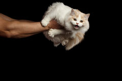 Human hands holding Meowing White Scottish Highland Straight Cat Isolated Royalty Free Stock Photo