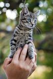 Human hands holding pretty little kitten Royalty Free Stock Images