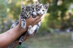 Human hands holding pretty little kittens Stock Photo