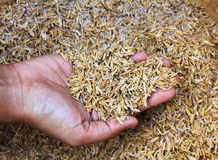 Human hands holding rice husk. Royalty Free Stock Photography