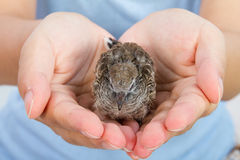 Human Hands Holding Small Bird Royalty Free Stock Photo