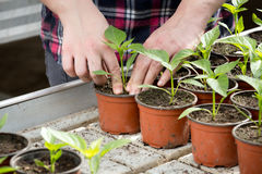 Human hands holding sprouts in flower pot Royalty Free Stock Photo