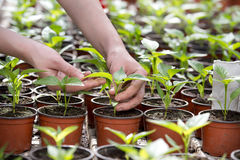 Human hands holding sprouts in flower pot Stock Image