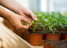 Human hands holding sprouts in flower pot Royalty Free Stock Photos