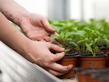 Human hands holding sprouts in flower pot Stock Photo