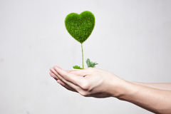 Human hands holding tree in heart-shape in white  backgr Stock Image