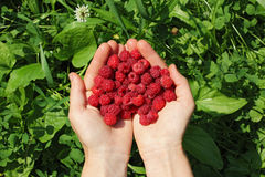 Human hands holding a wild raspberries in shape of heart. Human hands holding a handful of wild raspberries in shape of heart, with white flower in the royalty free stock photography