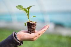 Human hands holding young plant with soil over blurred nature background. Ecology World Environment Day CSR Seedling Go Royalty Free Stock Photography