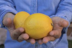 Human hands offering lemons royalty free stock images