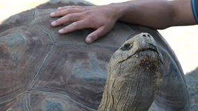Human hands petting Galapagos tortoise. Today, giant tortoises exist only on two remote archipelagos: the Galapagos 1000 km  west of Ecuador, and Aldabra in stock video