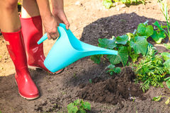 Human hands pouring water to hole in garden. Summer work in the garden. Closeup woman replanting flowers. Human hands holds can pouring water to new hole for Royalty Free Stock Photo
