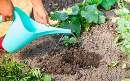 Human hands pouring water to hole in garden. Summer work in the garden. Closeup woman replanting flowers. Human hands holds can pouring water to new hole for Royalty Free Stock Images