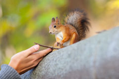 The human hands and red squirrel Stock Images