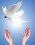 Human_hands_setting_free_white_dove Stock Photos