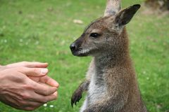 Human hands and a small kangaroo. Man asking a small kangaroo to give him a hand Stock Photo