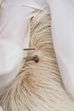Human hands using silver pliers to remove dog adult tick from t Royalty Free Stock Images