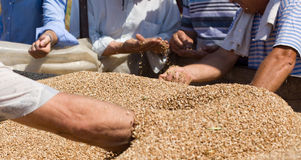 Human hands in wheat grain pile Royalty Free Stock Image