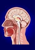 Human head anatomy Royalty Free Stock Image