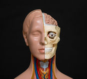 Human head anatomy model Stock Photos