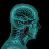 Human head with circulatory system Stock Images
