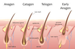 Human head hair growth cycle. Biological catagen, telogen phases. Hair infographics. Stock Photo