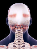 The human head muscle. Medically accurate illustration of the human head muscle Stock Photo