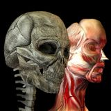 Human head with muscles and as skulls Royalty Free Stock Image