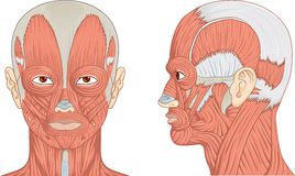 Human Head and Neck Muscles Diagram. Vector illustration diagram of human head with neck and face muscles Stock Photography