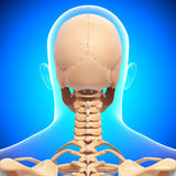 Human head skeleton  in blue Royalty Free Stock Photos
