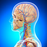 Human head skeleton in blue side view Stock Image
