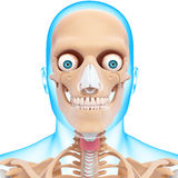 Human head skeleton Royalty Free Stock Images