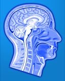 Human head structure. Brain bone in blue colour by photoshop illustration on with clipping path Stock Photography