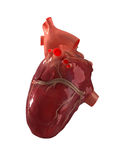 Human heart. Isolated on white royalty free stock photos