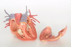 Human heart . Artificial human heart model open to reveal interior royalty free stock photos