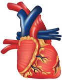 Human Heart. High detailed vector illustration Royalty Free Stock Photos