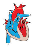 Human heart. Cross-section of the human heart and how it works Royalty Free Stock Photo