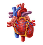 Human Heart. Anatomy from a healthy body  on white background as a medical health care symbol of an inner cardiovascular organ Stock Image