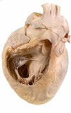 Human heart. Photo of a human heart on white background stock photo