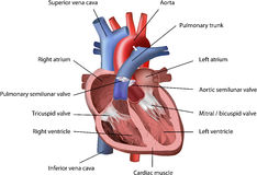Human Heart. Vector Illustration with annotation isolated on white background Royalty Free Stock Photo