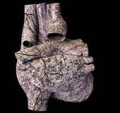 Human heart Stock Image