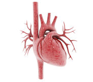 Human heart Royalty Free Stock Images