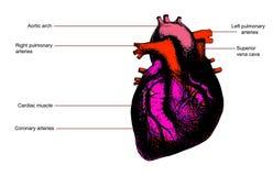 Human heart anatomy. Color human heart anatomy illustration. Contains legend Stock Photo