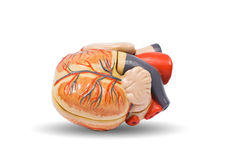 Human heart anatomy. Human heart, medical visual aid stock photo