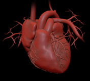 Human heart anatomy Royalty Free Stock Image