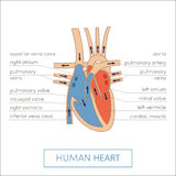 The human heart Royalty Free Stock Images