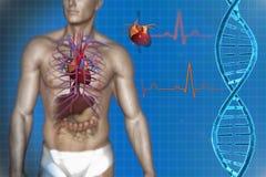 Human heart anatomy. 3d illustration of human internal organs, heart, DNA royalty free illustration